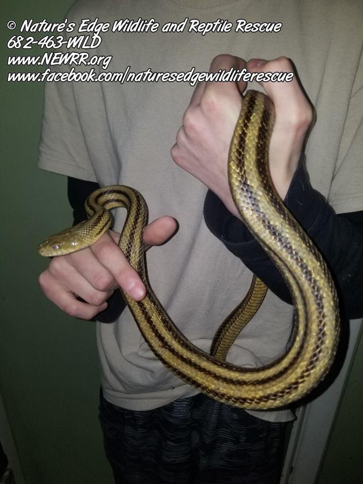 Reptiles Archives - Nature's Edge Wildlife & Reptile RescueNature's