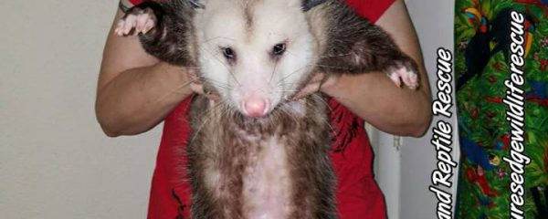Imprinted Opossums