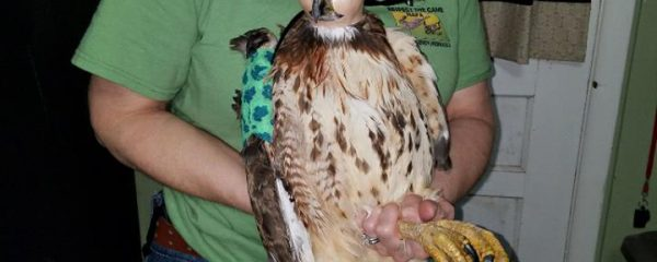 Red-tailed Hawk Released After Being Shot